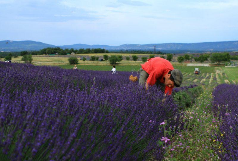 Ho ! Bouquet de Lavande à Ferrassières - 1