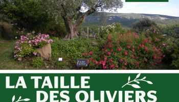 taille olivier